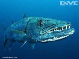 barracuda的图片释义。 如果您认为该图片不合适,可以上传新图片来帮助我们改进
