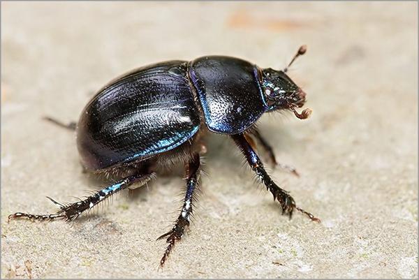 scarabée的图片释义。 如果您认为该图片不合适,可以上传新图片来帮助我们改进
