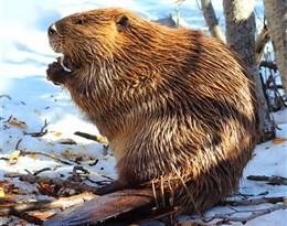 beaver的图片释义。 如果您认为该图片不合适,可以上传新图片来帮助我们改进