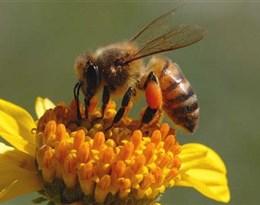 honeybee的图片释义。 如果您认为该图片不合适,可以上传新图片来帮助我们改进