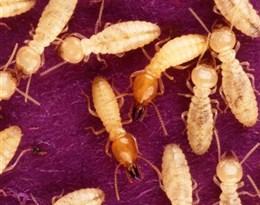 Mastotermitidae的图片释义。 如果您认为该图片不合适,可以上传新图片来帮助我们改进