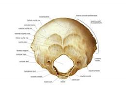 occipital bone的图片释义。 如果您认为该图片不合适,可以上传新图片来帮助我们改进
