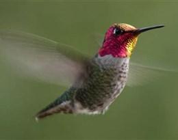 hummingbird的图片释义。 如果您认为该图片不合适,可以上传新图片来帮助我们改进
