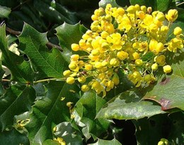 Berberidaceae的图片释义。 如果您认为该图片不合适,可以上传新图片来帮助我们改进