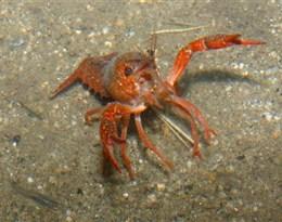 crustacean的图片释义。 如果您认为该图片不合适,可以上传新图片来帮助我们改进