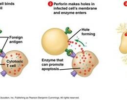 cytotoxic T cell的图片释义。 如果您认为该图片不合适,可以上传新图片来帮助我们改进