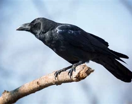 crow的图片释义。 如果您认为该图片不合适,可以上传新图片来帮助我们改进