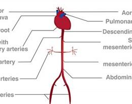 celiac artery的图片释义。 如果您认为该图片不合适,可以上传新图片来帮助我们改进