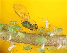 aphides的图片释义。 如果您认为该图片不合适,可以上传新图片来帮助我们改进