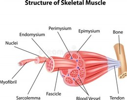 skeletal muscle的图片释义。 如果您认为该图片不合适,可以上传新图片来帮助我们改进