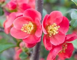 Japanese quince的图片释义。 如果您认为该图片不合适,可以上传新图片来帮助我们改进