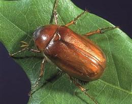 June beetle的图片释义。 如果您认为该图片不合适,可以上传新图片来帮助我们改进