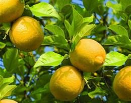 lemon tree的图片释义。 如果您认为该图片不合适,可以上传新图片来帮助我们改进