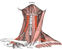 musculus的图片释义。 如果您认为该图片不合适,可以上传新图片来帮助我们改进