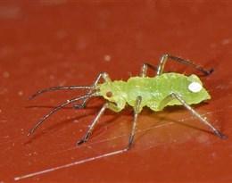 Aphididae的图片释义。 如果您认为该图片不合适,可以上传新图片来帮助我们改进