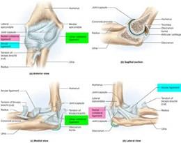 elbow joint的图片释义。 如果您认为该图片不合适,可以上传新图片来帮助我们改进