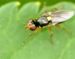 Chloropidae的图片释义。 如果您认为该图片不合适,可以上传新图片来帮助我们改进