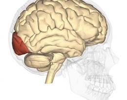 occipital lobe的图片释义。 如果您认为该图片不合适,可以上传新图片来帮助我们改进