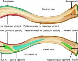 clavicle的图片释义。 如果您认为该图片不合适,可以上传新图片来帮助我们改进