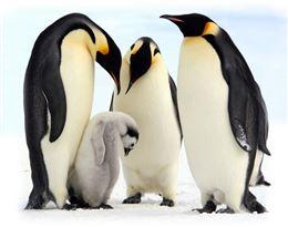 pingouin的图片释义。 如果您认为该图片不合适,可以上传新图片来帮助我们改进