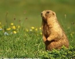marmotte的图片释义。 如果您认为该图片不合适,可以上传新图片来帮助我们改进