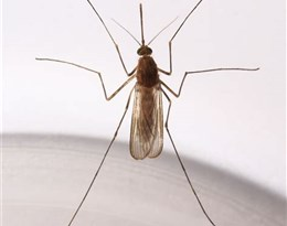 culicidae的图片释义。 如果您认为该图片不合适,可以上传新图片来帮助我们改进